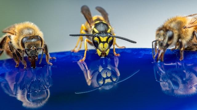 Deux abeilles et une guêpe buvant un liquide bleu