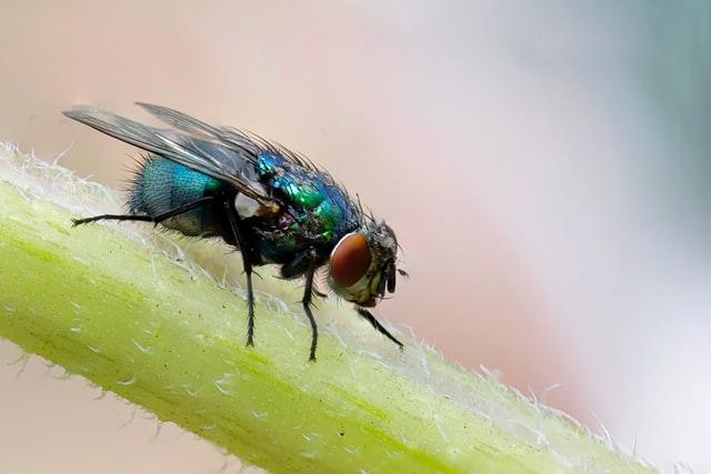 Mouche verte sur une tige de plante