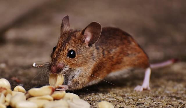 Jeune souris attirée par des arachides