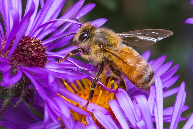 Abeille butineuse sur une fleur violette et jaune