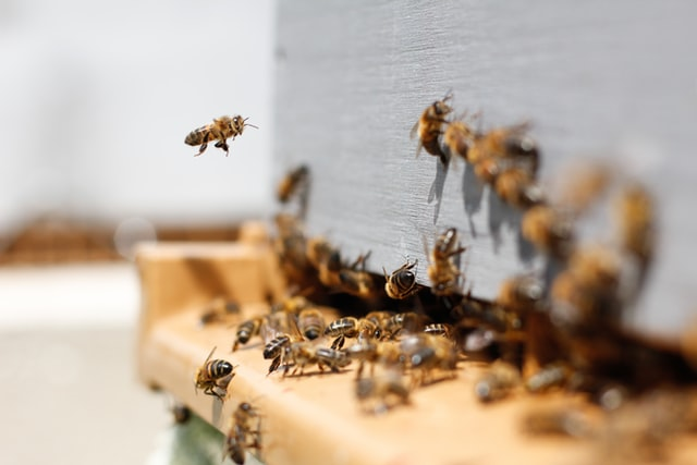 Abeilles qui rentrent à la ruche