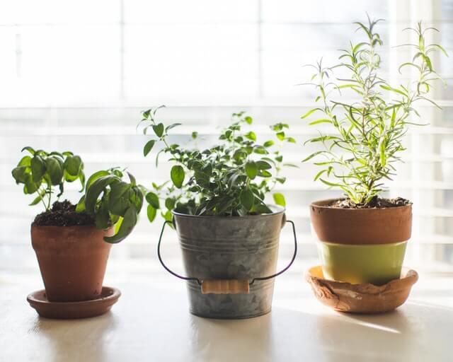 Plantes aromatiques qui repoussent les mouches