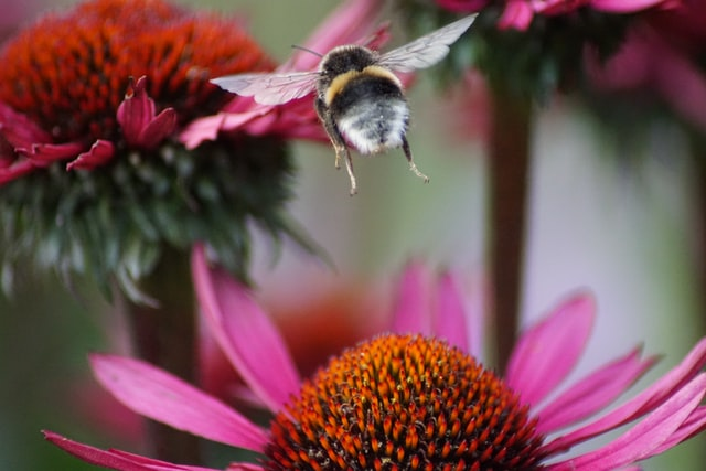 Bourdon qui vole vers une fleur à butiner