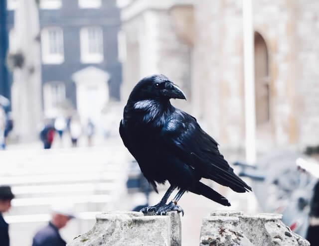 Corbeau noir perché dans une ville