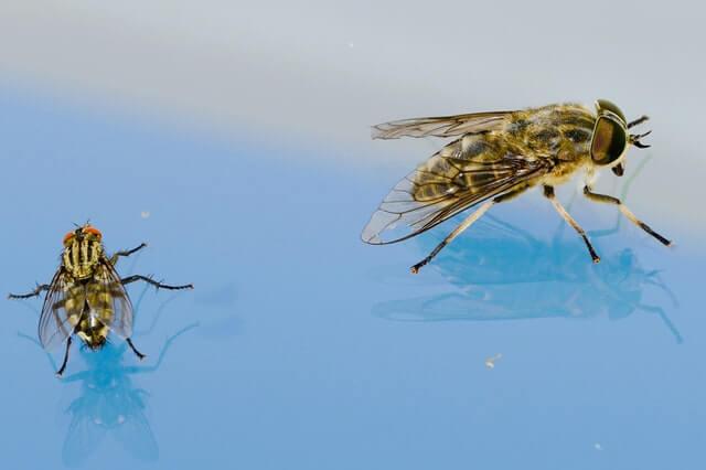 Deux mouches de taille différente posée sur un support transparent