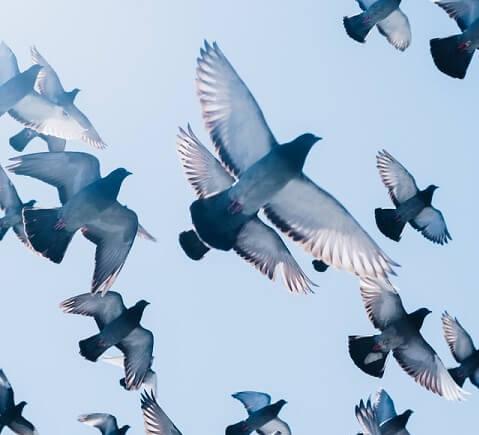 Envol de pigeon dans une ville