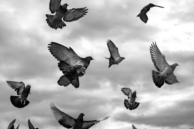 Envolée de pigeons effarouchés