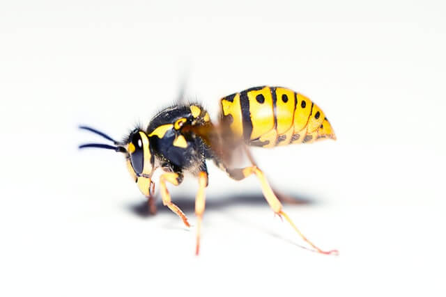 La guêpe commune est reconnaissable par son abdomen jaune et noir