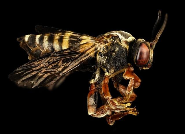 La guêpe commune est un insecte social organisé autour de la reine