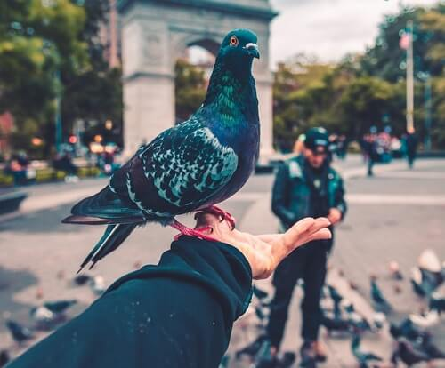 Les pigeons peuvent être éloignés à l'aide d'un spray répulsif efficace