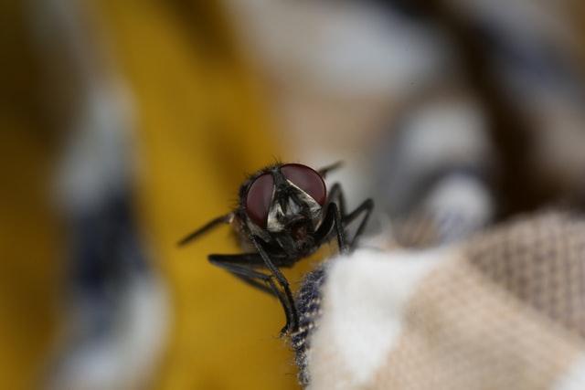 Mouche posée sur un textile blanc