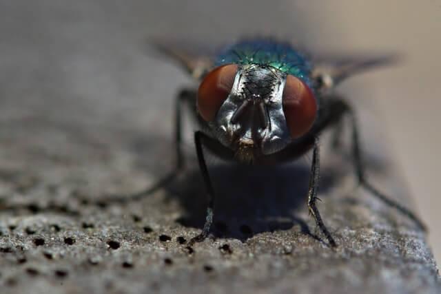 Mouche verte posée sur le bitume
