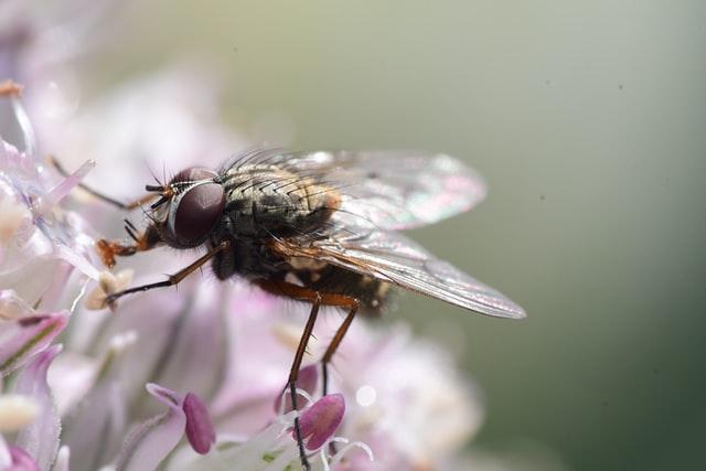 Mouche commune en train de boire sur une fleur