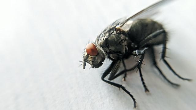 Mouche morte par asphyxie avec une bande adhésive