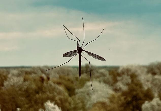 Moustique mort collé à une fenêtre