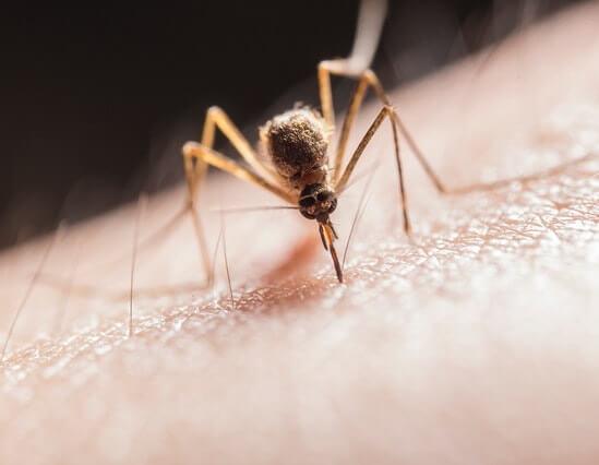 Moustique en train de piquer une peau humaine à l'aide de sa trompe