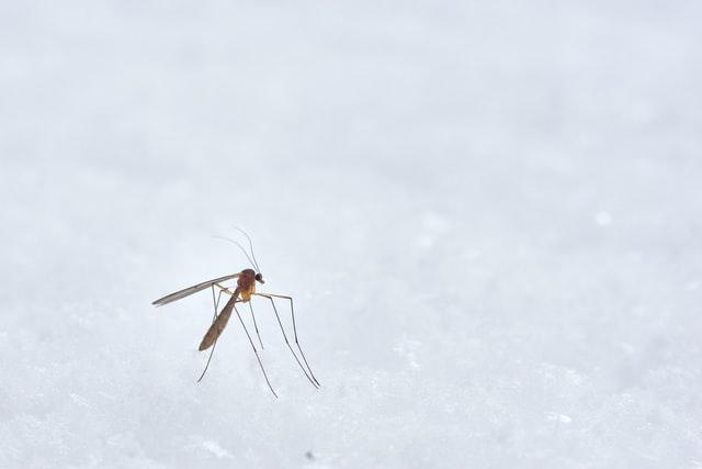 Moustique marron avec un abdomen rond