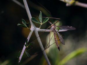 Moustique posé sur une branche à proximité d'un plan d'eau