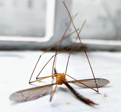 Moustique mâle mort : comment se débarrasser des moustiques une bonne fois pour toutes ?