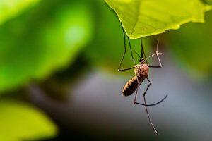 La nymphe de moustique est l'un des phases du cycle de vie d'un moustique