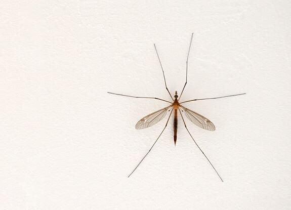 Moustique posé sur un mur