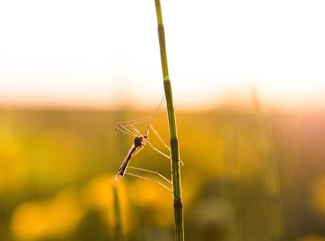 Moustique commun posé sur une tige végétale durant l'été