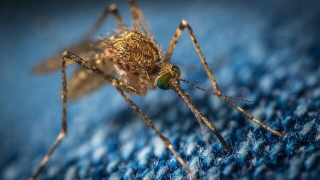 Moustique qui utilise sa trompe pour piquer