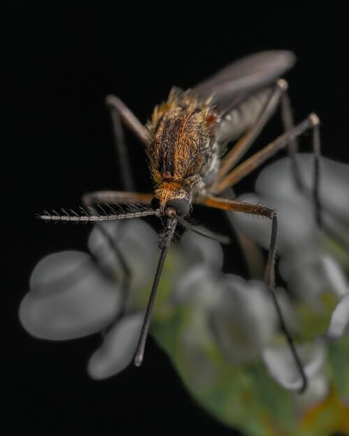 Zoom sur un moustique femelle et vue sur sa trompe