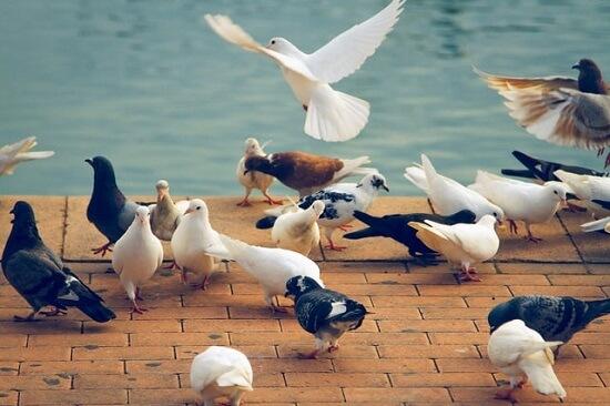 Atterrissage de nombreux pigeons à proximité d'un point d'eau pendant la saison estivale