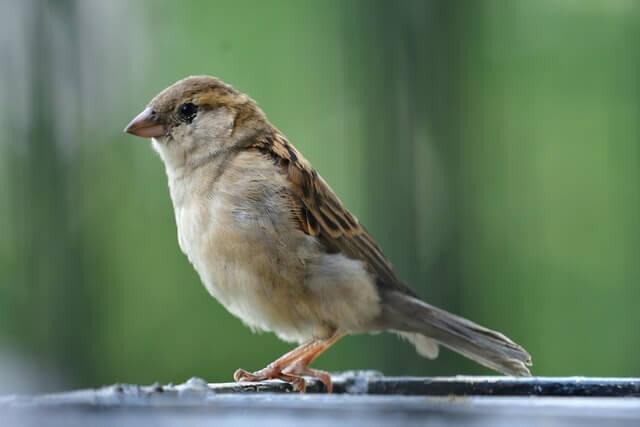 Petit oiseau commun de type moineau