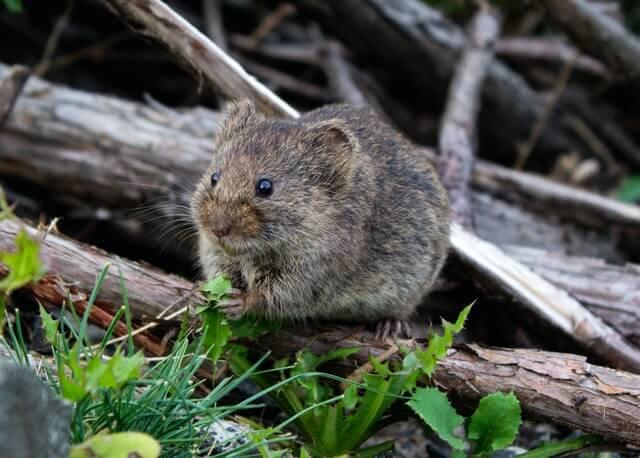 Petite souris brune reconnaissable à sa queue, à son corps et à ses pattes