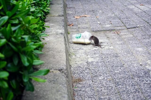 Petite souris attirée par des restes d'un gobelet Starbucks dans la rue