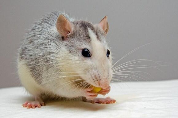 Souris blanche et grise qui mange un aliment empoisonné