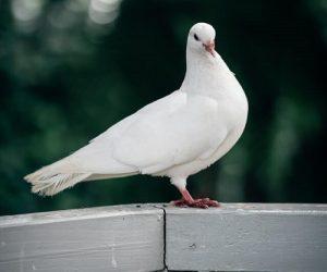 Pigeon blanc posé sur une rambarde en bois