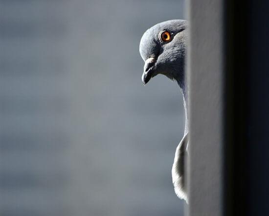 Pigeon caché derrière un mur dans une v ille
