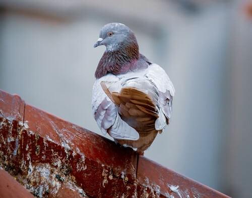 Pigeon sur un toit avec des fientes