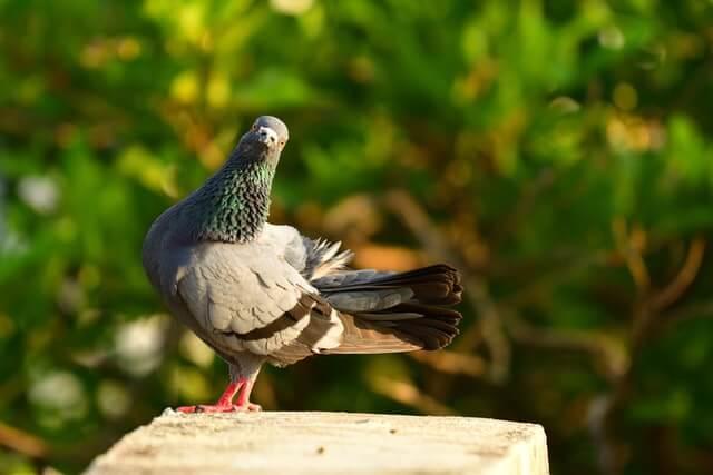 Pigeon posé sur une corniche dans un parc, en ville
