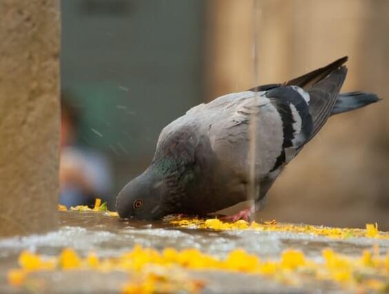Pigeon qui mange au sol après pillage d'une mangeoire