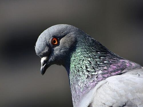 Gros plan sur la gueule d'un pigeon et sur son œil orange