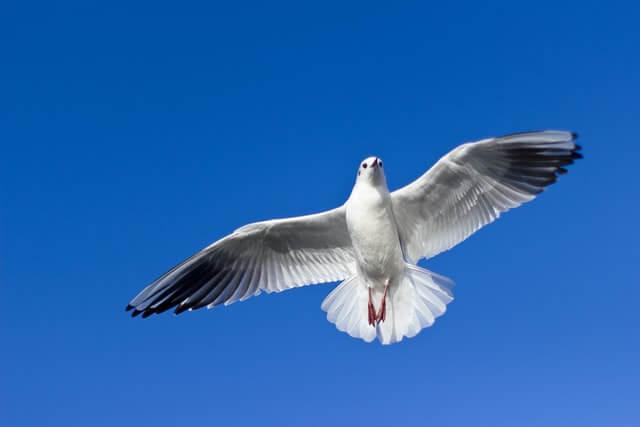 Pigeon blanc qui vole dans un ciel bleu d'été