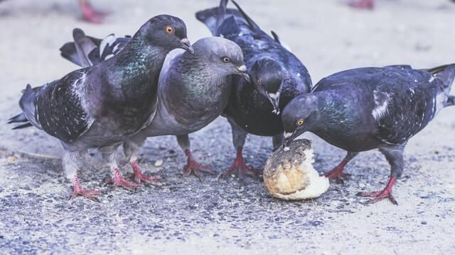 Il ne faut pas nourrir les pigeons sous peine d'une invasion de ces nuisibles