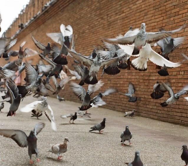 Envol de pigeons au sol
