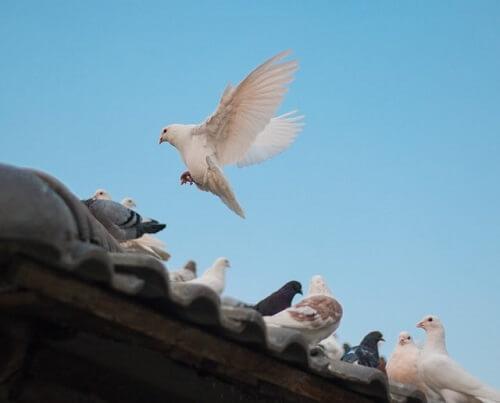 Pigeon blanc qui se pose sur le toit d'une habitation
