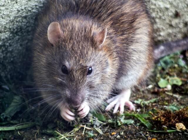 Le rat est nettement plus gros que la souris, et possède une queue dépourvue de poils