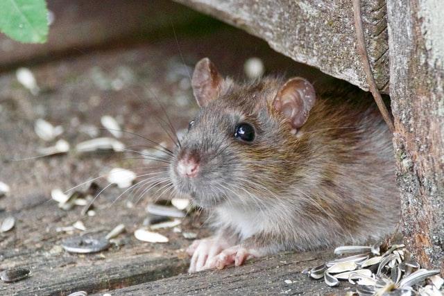 Rat gris très attiré par les nourritures et notamment les céréales et autres graines
