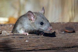 Rat dans une poutre à l'intérieur d'une maison