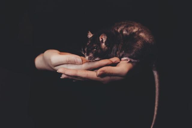 Rat noir avec une longue queue posée dans les mains d'un humain