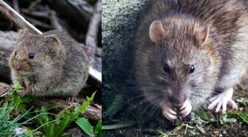 Différences entre une souris et un rat