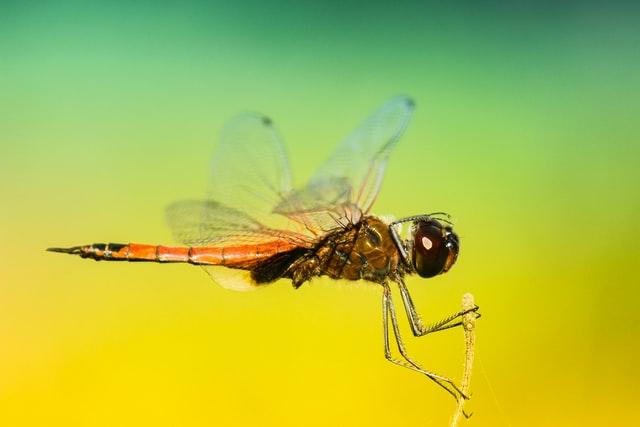 Moustique noir et orange : est-ce un moustique tigre ?
