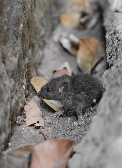 Jeune rat gris dans les fondations d'une maison